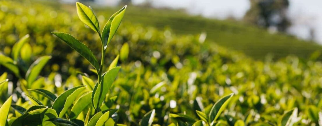 Fiche : Le théier