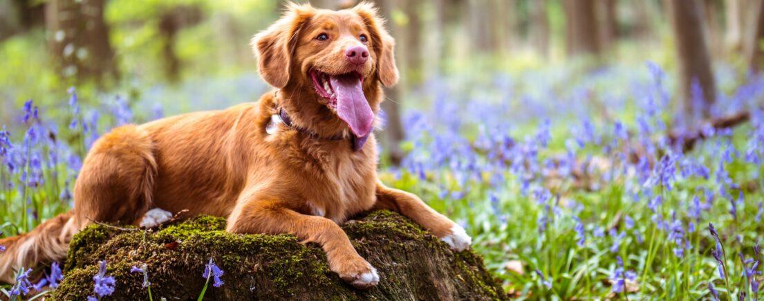 Traitement antipuces pour chien