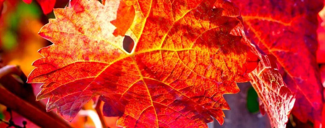Fiche : la vigne rouge