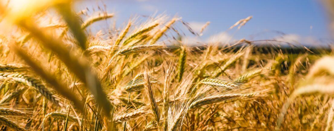 Fiche: l'huile de germe de blé