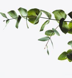 Fiche : l'HE d'eucalyptus radié