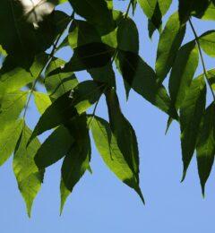 Fiche : le frêne
