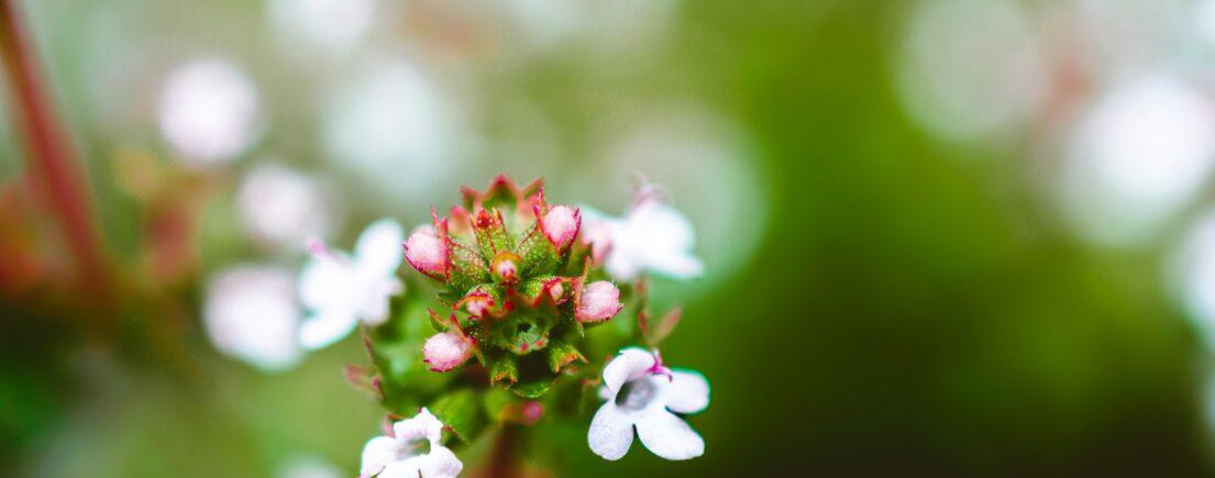 Thymus : symbolique