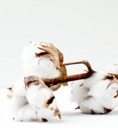 Fiche : l'huile végétale de coton